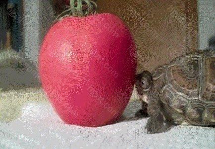 相当于两个西红柿