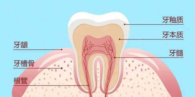 我们来看看牙齿的简单构造: